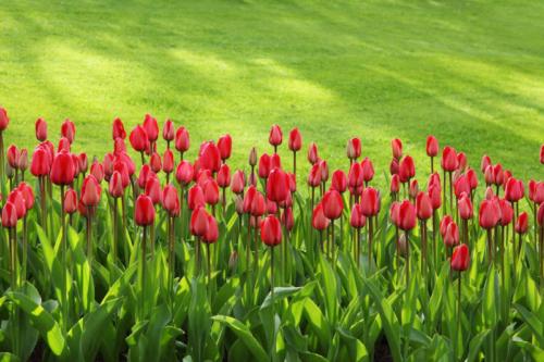 Pelouse et tulipes au printemps